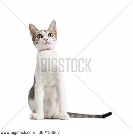 Young Cute Cat Isolated On White  Background