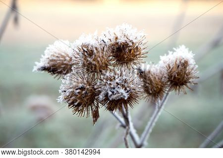 Dry Burdock Flower Covered With Frost. Autumn Landscape.