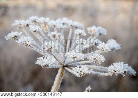 Dry Flower Covered With Frost. Winter Landscape.