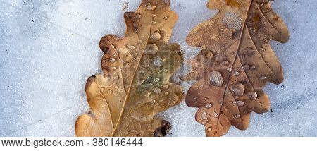 First Snow, Snow Flakes Fall. Frosty Autumn Leaf. Frozen Leaf Natural Background