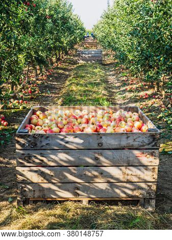 Wooden Crates Full Of Ripe Apples During The Annual Harvesting Period. Agricultural Concept