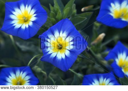 Convolvulus Tricolor Flower Also Known As Morning Glory Or Bindweed, Close - Up View