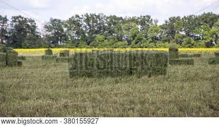 Rectangular Bales Of Alfalfa Hay Lie On The Field.