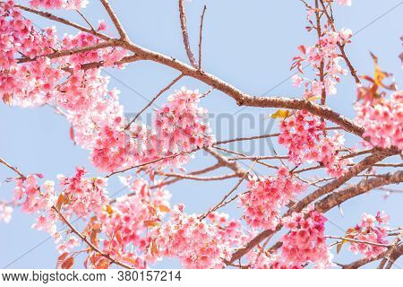 Thai Sakura Flower  Background In Winter Season On Tree, Prunus Cerasoides At  Chaing Mai Province,