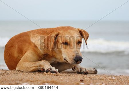 A Yellow Dog Lying On The Beach To Escape The Heat, Dog Sitting On The Beach. Close Up Of  A Domesti