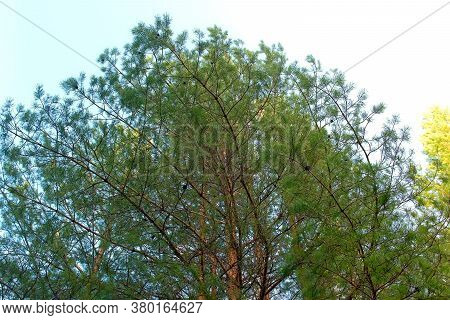 Top Of Huge Green Pine Tree At Light Blue Sky Background. Big Light Green Pine Tree Is Waving By Sof