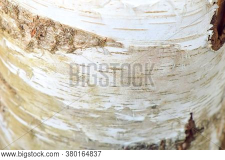 White Trunk Of Birch With Bark, Black And White Pattern, Closeup View. Natural Old Tree Trunk.