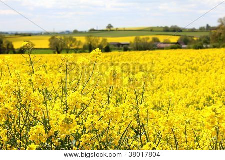 Oil Seed Rape Field 2