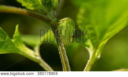 Unique Grasshopper Among Lush Mint, Summer Day