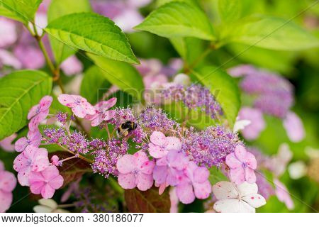 Flowers Blossom On Sunny Day. Closeup Of Bumblebee At Work On Hortensia Plant. Violet Hydrangea Macr