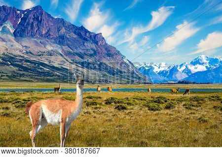 Small herd of guanaco. Guanaco is a cloven-hoofed mammal from the family of camelids, a genus of llamas. Argentina, Patagonia. Huge lake with azure water and cold mountains.