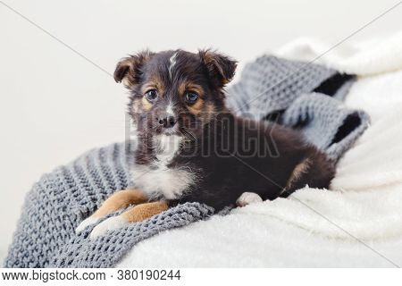 Puppy Misses Owners At Home Alone. Toy Terrier Puppy Lying On Blanket On Bed. Dog Lies On Sofa At Ho