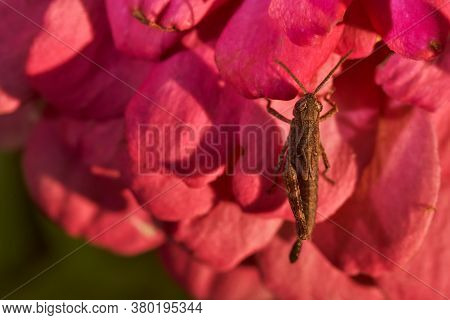 Grasshopper Sits In Red Flower. Close-up.macro Effect Photo.