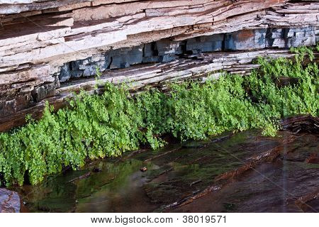 Maiden Hair Fern growing from cracks in rocks at Circular Pool,  Dales Gorge, Karijini National Park, Western Australia.