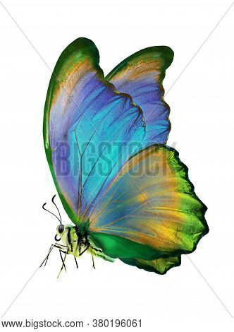 Bright Colorful Morpho Butterfly Isolated On White. Bright Colorful Butterfly In Flight