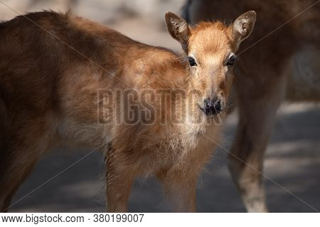 Young Pere David Deer Calf In Captivity. This Species Is Extinct In The Wild