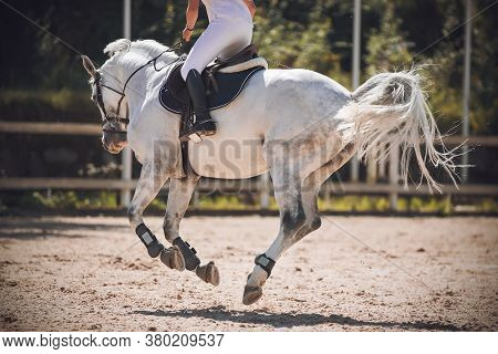 White Dappled Beautiful Horse Gallops, With A Rider In The Saddle. All Its Hooves Are Simultaneously