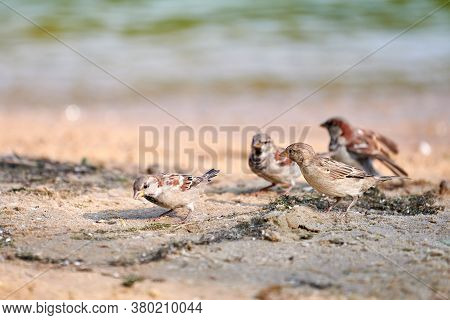 Sparrows Flock On Coast. Little Urban Birds. Sparrows Bird Wildlife. Birdwatching And Ornithology