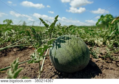 Watermelon.watermelon Farm.green Watermelon Growing In The Garden