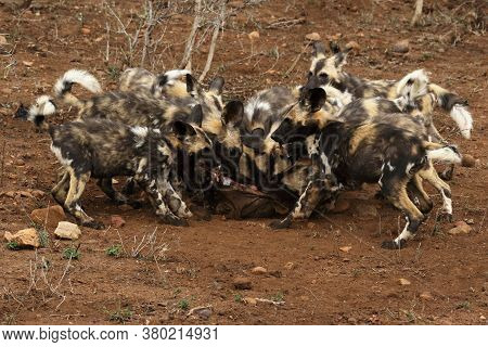 The African Wild Dog, African Hunting Dog, African Painted Dog, Cape Hunting Dog Or Painted Wolf (ly