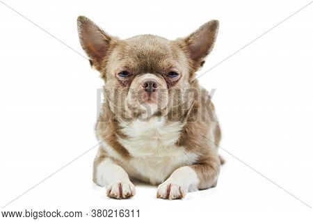 Adult Chihuahua Dog, Isolated. Little Cute Doggy On White Background. Dog Shelter Puppy. Small Short