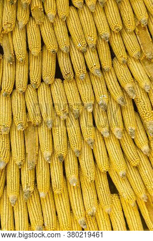 Rows Of Maize Cobs. Golden Corn On The Cob. Background