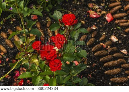 A Red Rose Blossomed In The Garden On A Flowerbed Marked With Fir Cones.