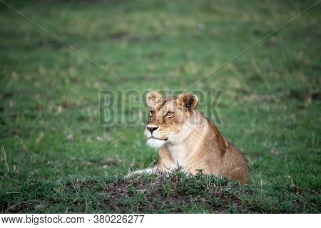 Alert lioness, pantera leo, resting in the green grass of the Masai Mara, Kenya