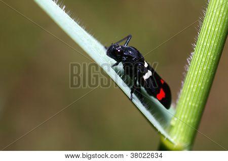black leafhopper