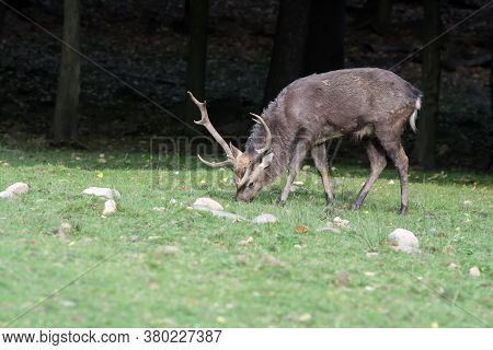The Sika Deer (cervus Nippon) Also Known As The Spotted Deer Or The Japanese Deer, Adult Male Graze