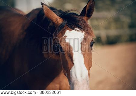 Horse Muzzle Close Up. Portrait Of A Young Sports Horse Of Red Color.