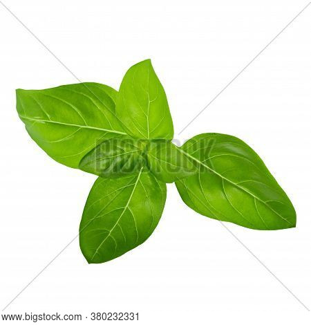 Green Basil Herb Leaves Isolated On White Background. Sweet Genovese Basil. With Clipping Path.