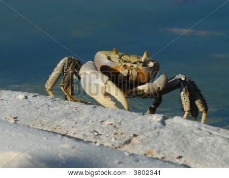 A big cuban ghost crab near the hotel pool poster