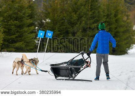 Husky Sled Dog Racing. Musher Falls Off Sled. Winter Dog Sport Sled Team Competition. Siberian Husky
