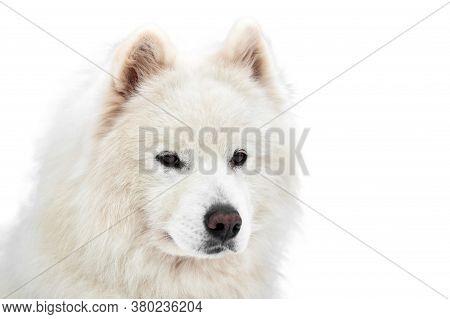Husky Sled Dog Face, Isolated. Siberian Husky Dog Breed White Background, Muzzle Portrait. Isolated