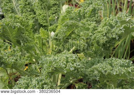 Kale Cabbage In The Garden. Cabbage Is A Winter, Healthy Vegetable. Selective Focus.
