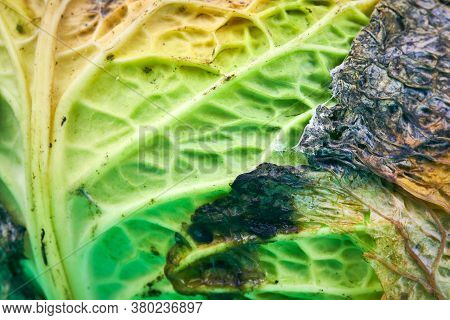 Rotten Cabbage, Macro, Close Up. Head Of Moldy Cabbage. Unsuitable Inedible Food For Cooking.