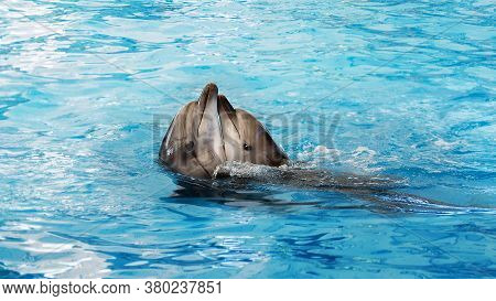 Two Dolphins Dancing In Blue Water. Concept Of Smart Dolphins And Training. Dolphinarium Concept. Lo