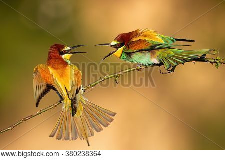 Two European Bee-eater Fighting On Bough In Summer.