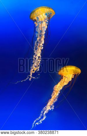 Tow Japanese Sea Nettles, or Chrysaora pacifica Jellyfish. against deep blue background.