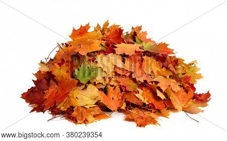 Pile of fall  colorful maple autumn leaves  isolated on white background