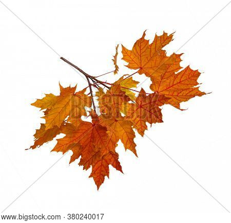 Branch of autumn colorful leaves isolated on white background