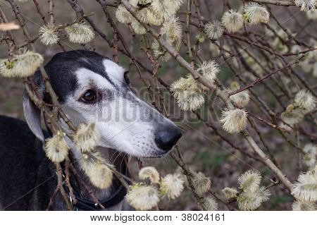 poster of A portrait of young smooth saluki in blooming willow