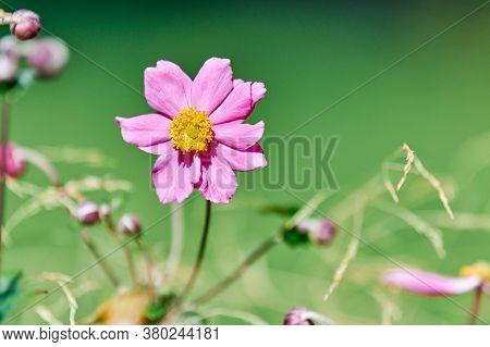 Cosmos Flower, Copy Space. Beautiful Delicate Pink Flower. Blooming In City Flowerbed. Cosmos Bipinn