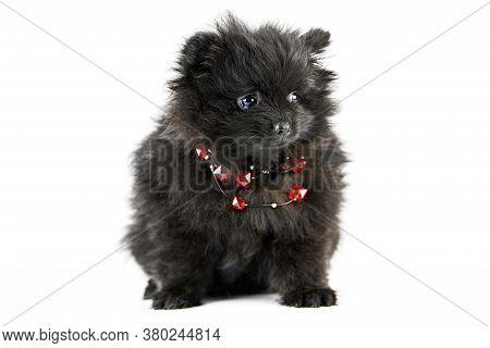 Pomeranian Puppy Spitz, Isolated. Cute Black Pomeranian With Red Beads, White Background. Family Fri