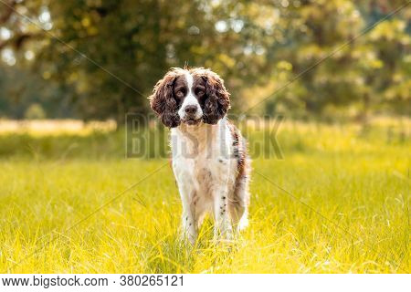 Münsterlander Or English Springer Spaniel Dog Looking Forward Standing In Green Grass In The Sun