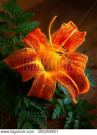 Daylily On A Wooden Table. Close-up Of A Wet Daylily In Drops Of Water On A Dark Background. Still L