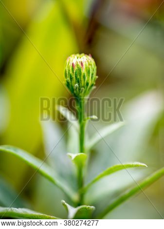 New England Aster (symphyotrichum Novae-angliae / Aster Novae-angliae) Flower Before Blossoming.