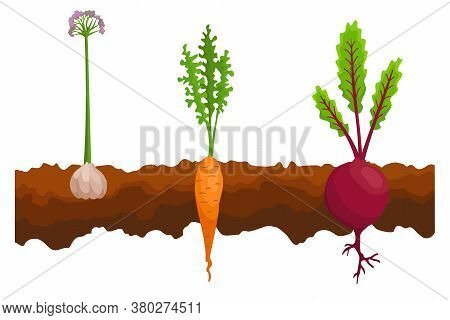 Vegetables Growing In The Ground. One Line Beet, Carrot, Garlic. Plants Showing Root Structure Below