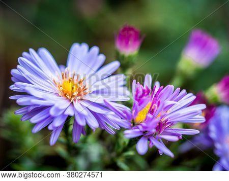 Pretty New England Aster (symphyotrichum Novae-angliae / Aster Novae-angliae) Flowers.